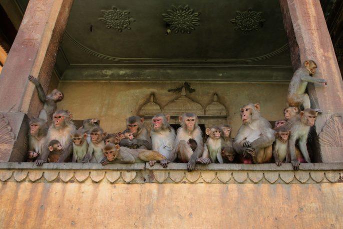 india monkey corona