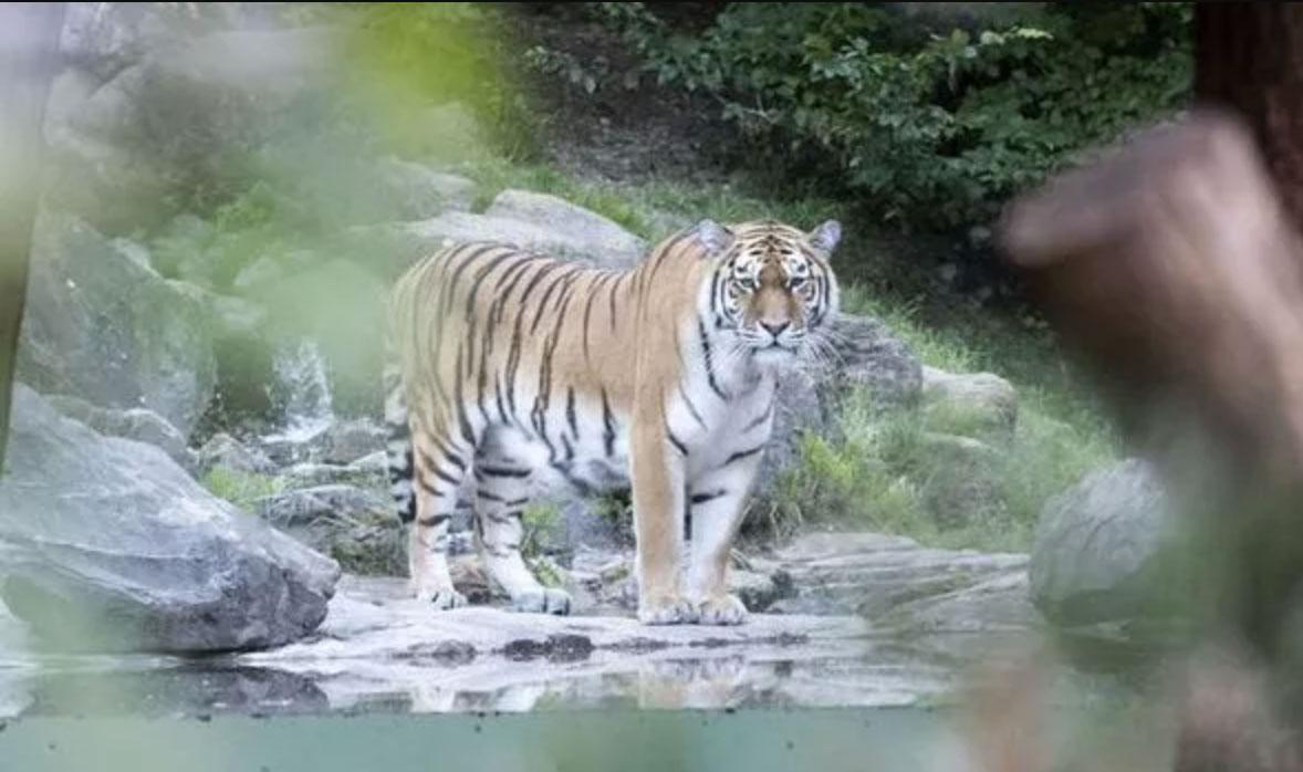 Zurich Zoo tiger