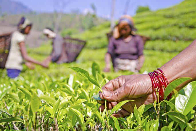 Illam tea worker