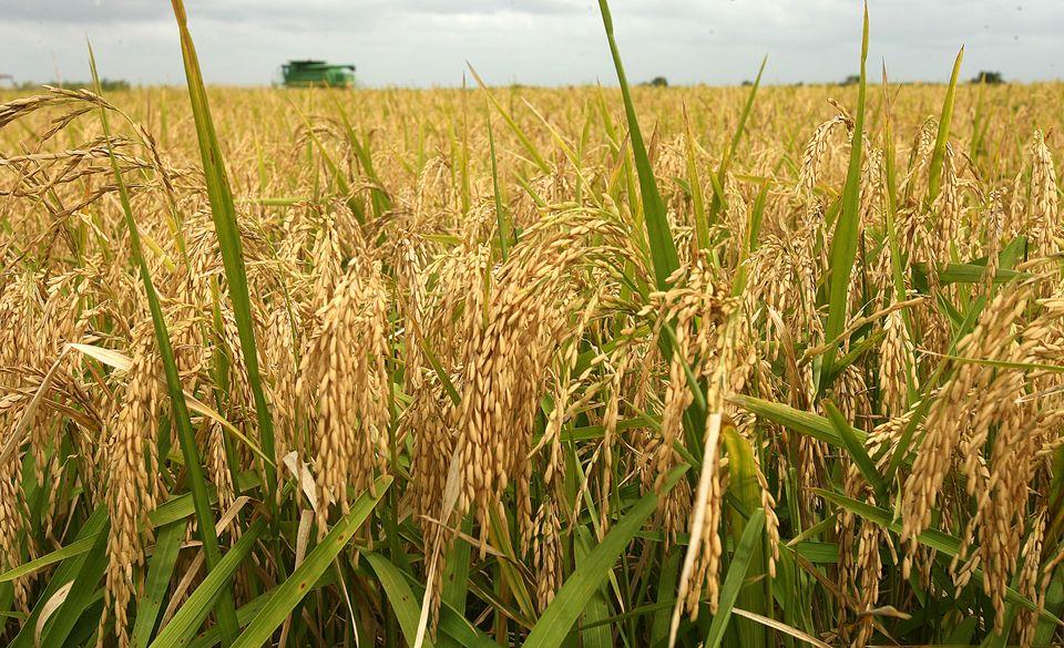 Rice dhan