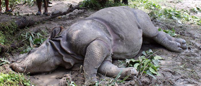 Dead rhino