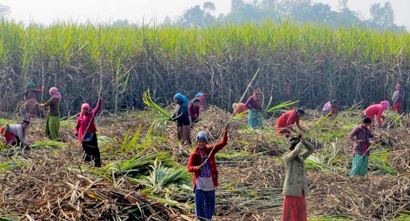 sugarcane farmers harvest