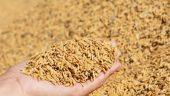 dhan rice paddy