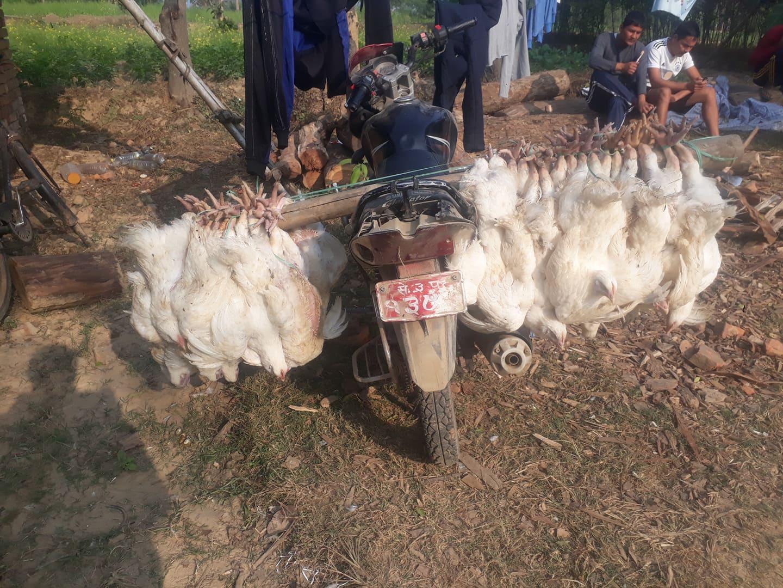 chicken smuggle