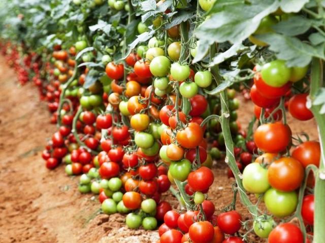 tomato kheti