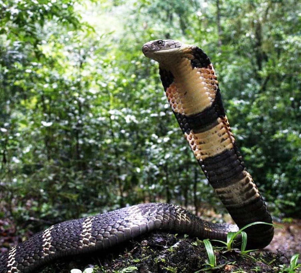 King cobra Agumbe Gowri Shankar vhfzrb 1024x931 1