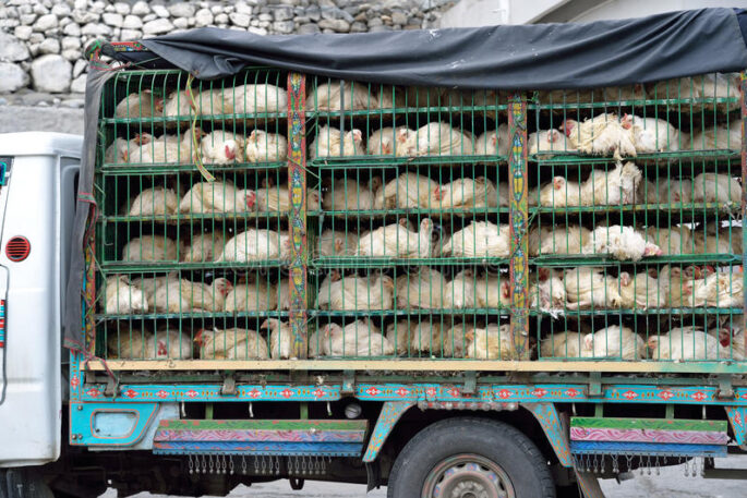 chicken carrying truck