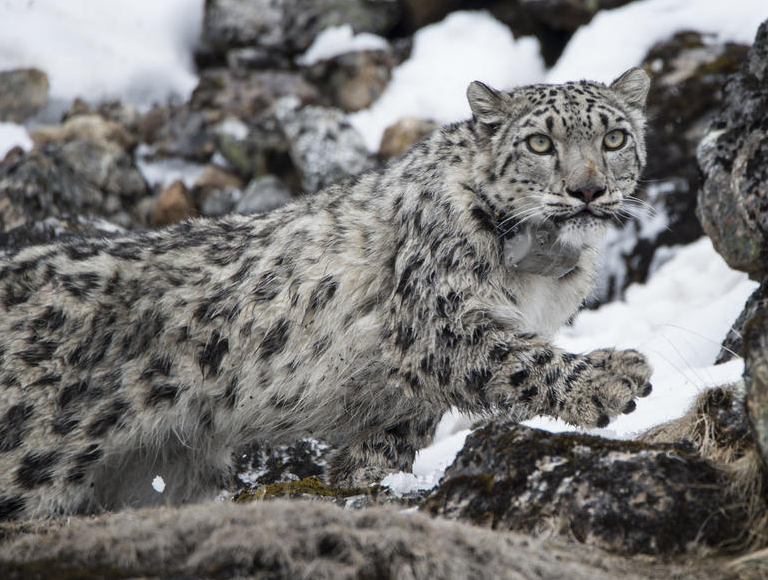 snow leopard nepal